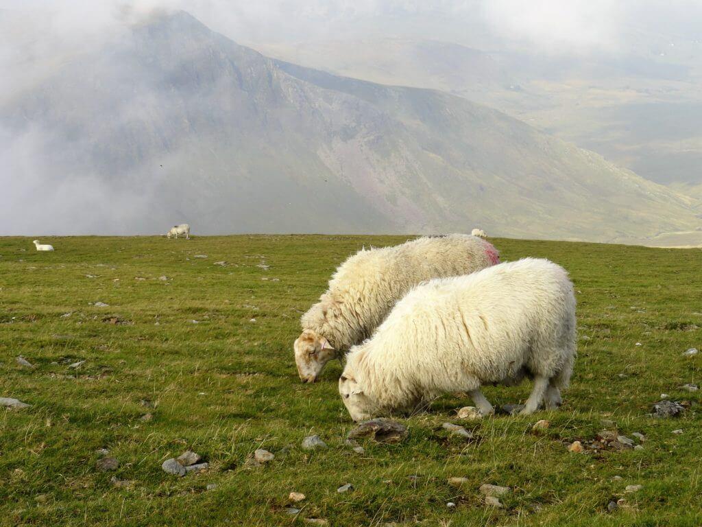 Schafe am Wegesrand im Snowdonia Nationalpark