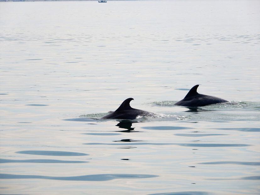 Delfine Sado Fluss Setúbal