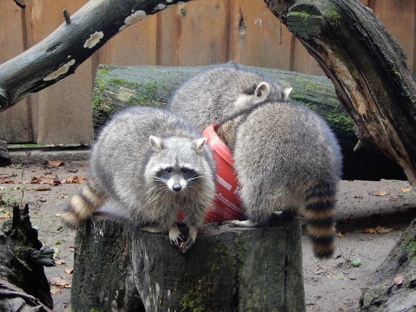 Tierpark Neuruppin Waschbären