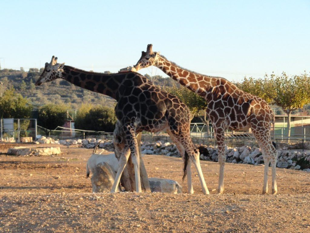 Giraffen im Athen zoo