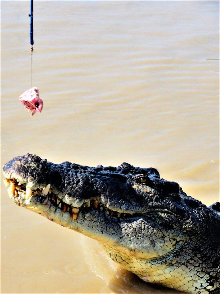 springende Krokodile Adelaide Rivre