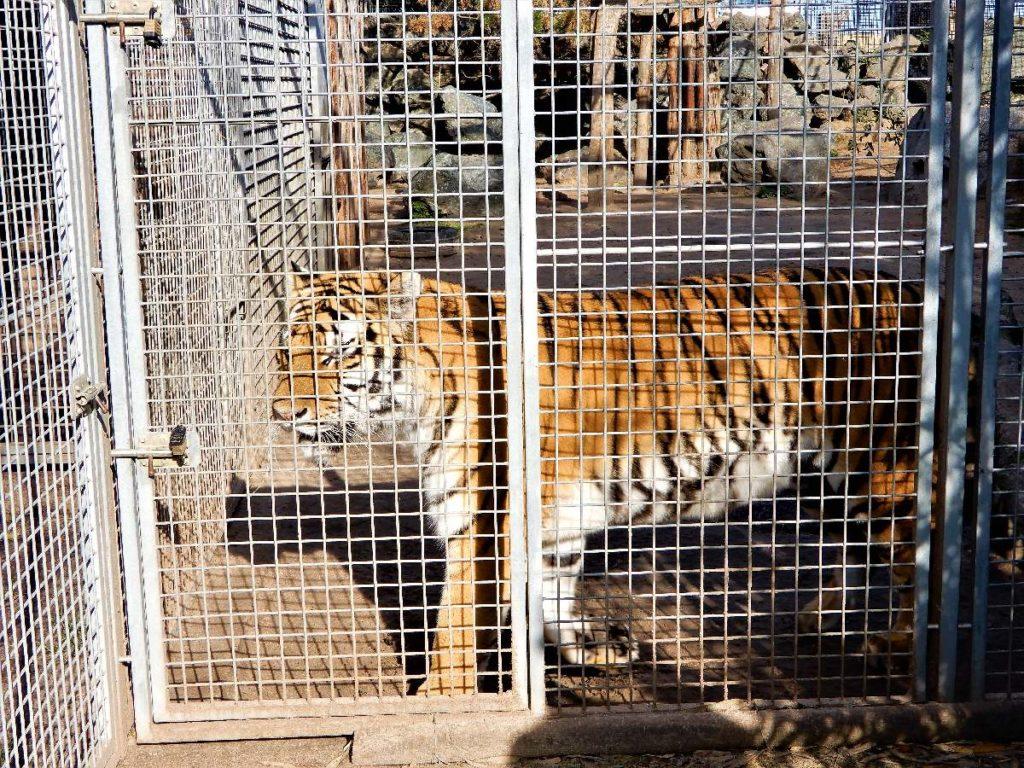 Tiger im Wildkatzenzentrum Barnim
