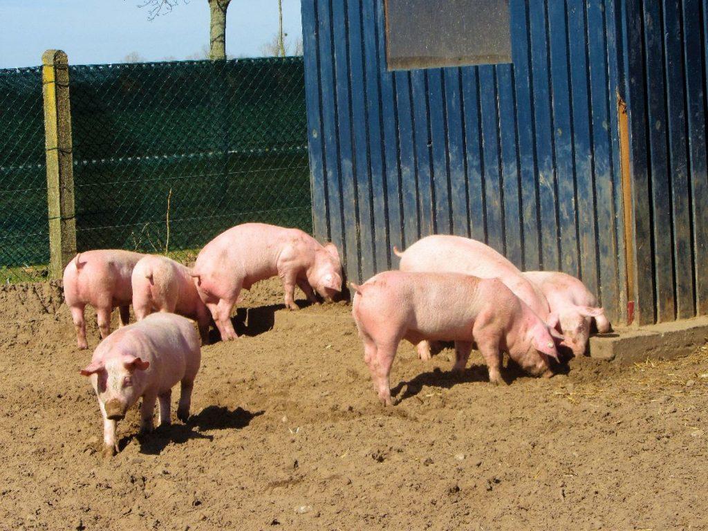 Schweine im Park