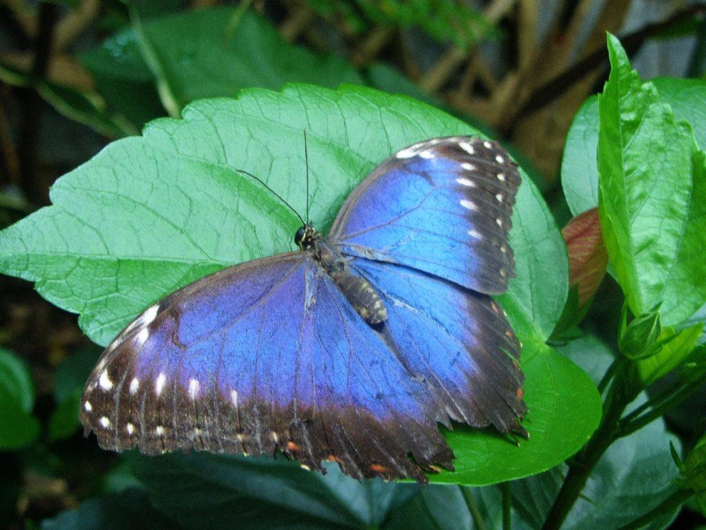 blauer Schmetterling Biosphäre Potsdam