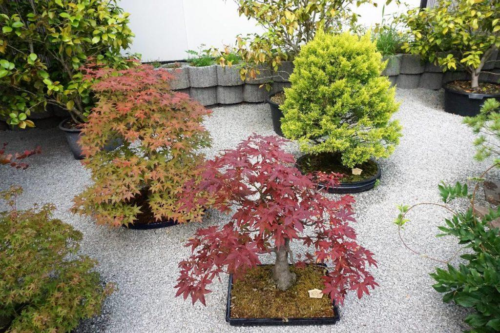 Bosais im japanischen Bonsaigarten