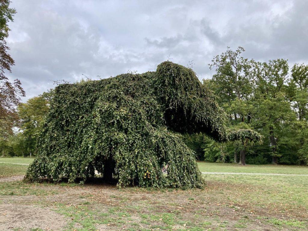 Elefantenbaum Potsdam