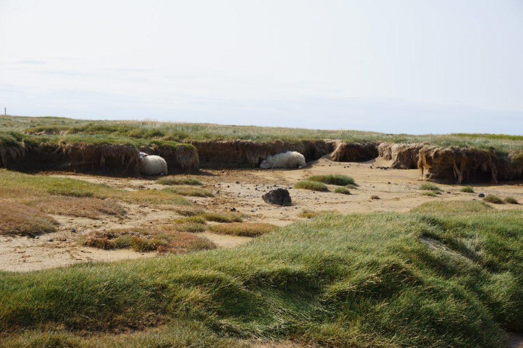 Schafe am Raudasandur