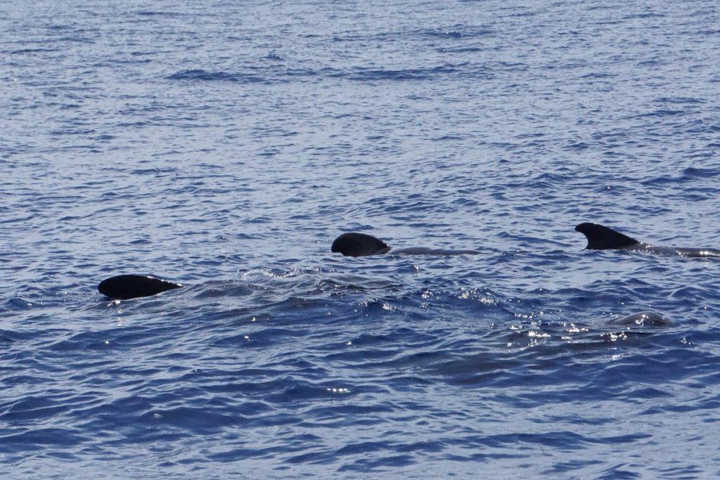 Wale beobachten Teneriffa